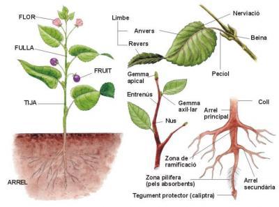 Òrgans de les Plantes