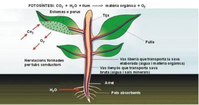 La fotosíntesi